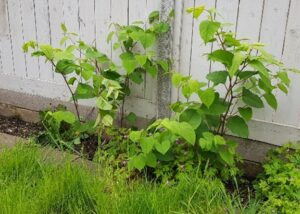 Is it important to obtain a Japanese Knotweed report from a specialist?