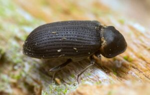 Wood-boring Insects