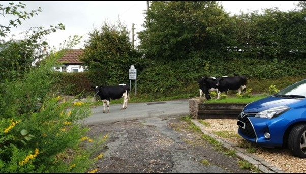 Read more about the article Cows-piracy